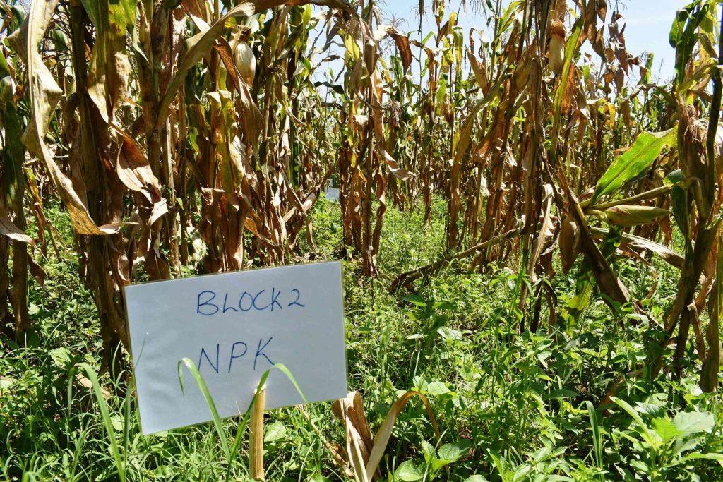 - Maize study blocks at MUARIK